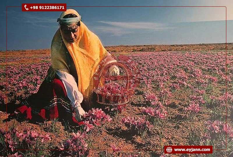 Great History of wholesale saffron business