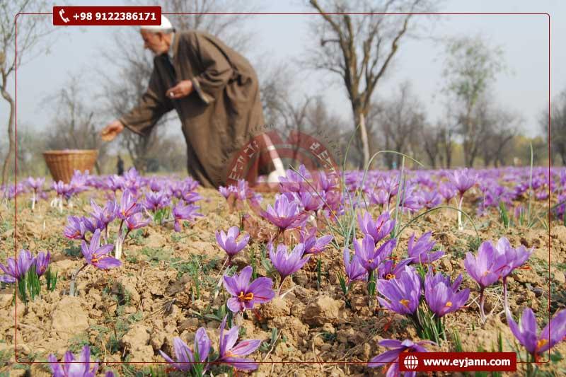 Where does saffron grow best?