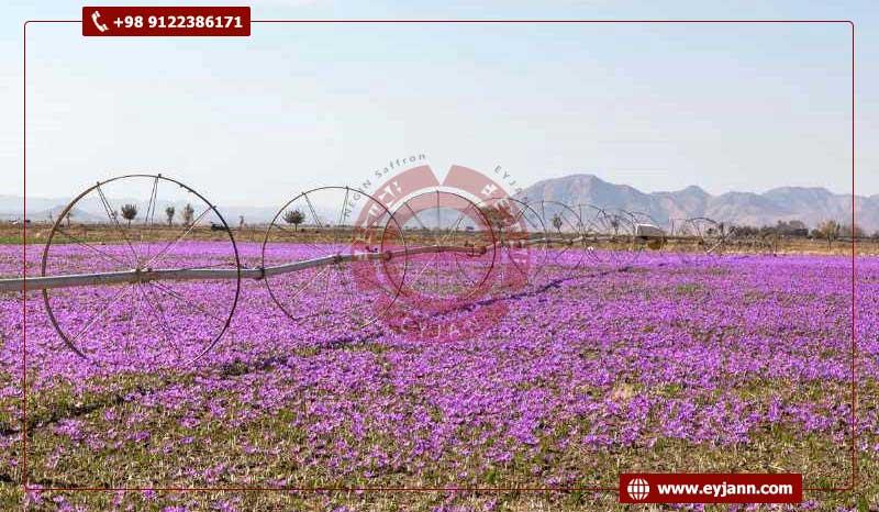 the largest saffron producer