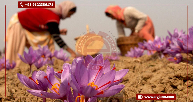 Iranian saffron; The best saffron in the world