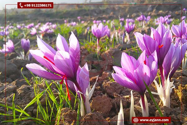 Saffron production at Eyjan company