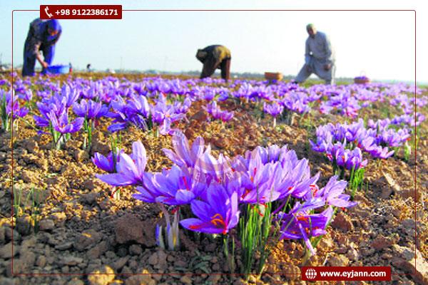 buy saffron from Iran