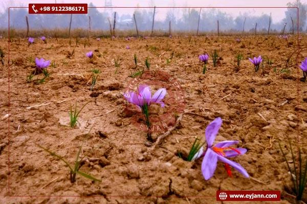 Iranian saffron producer